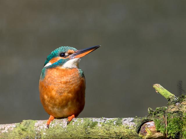 Eurasian Kingfisher alcedo atthis