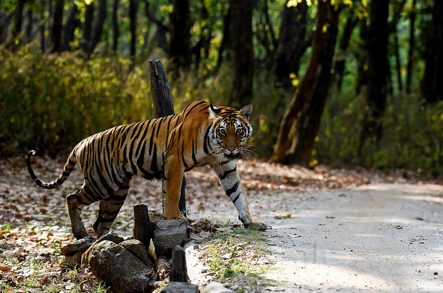 Bengal Tiger Photo Safari February 2022