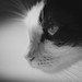 tomageorgian40 posted a photo:Print Photography Cat Portret Black and White