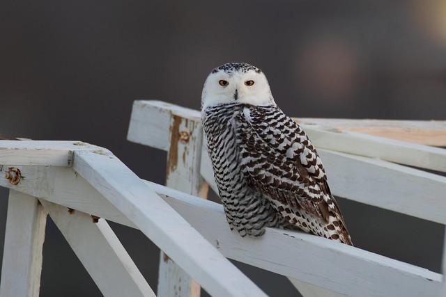 Snowy Owl at Dawn