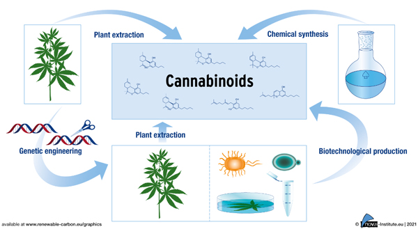 Huge market potential for CBD and other cannabinoids – how best to produce them?