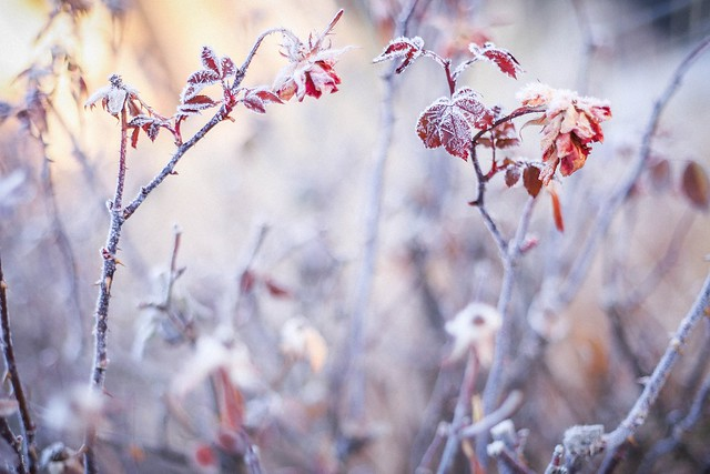 frosty rose leaves #2