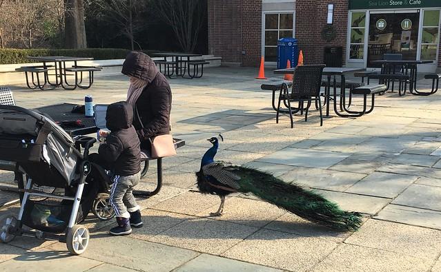 Sociable Peacock