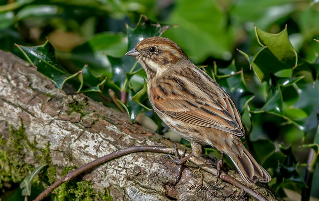 DSC6973  Reed Bunting...