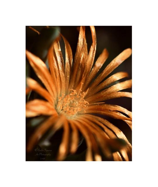 Malephora lutea.