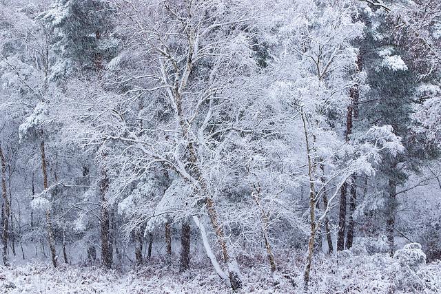 Snow on Birch [Explored]