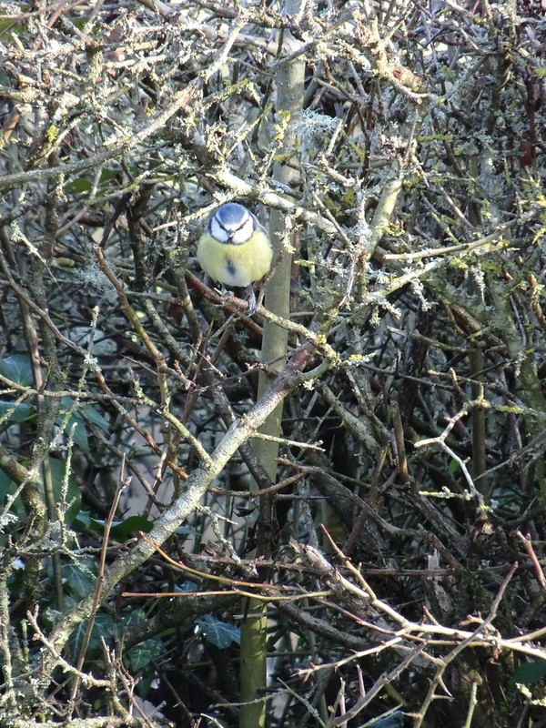 Blue Tit in the hedge