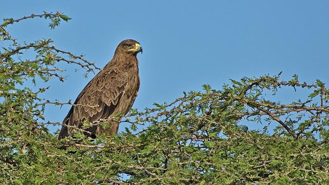 MM 54 Aigle des steppes - Aquila nipalensis