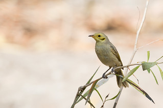 Yellow-tinted Honeyeater | by petefeats