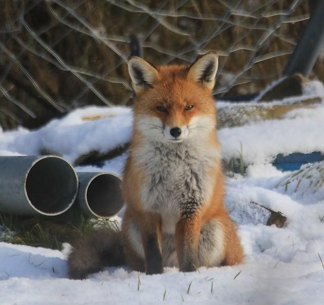Red Fox - Enjoying the Winter Sunshine!