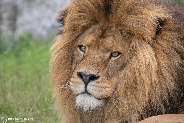 African Lion - Safaripark Beekse Bergen - The Netherlands