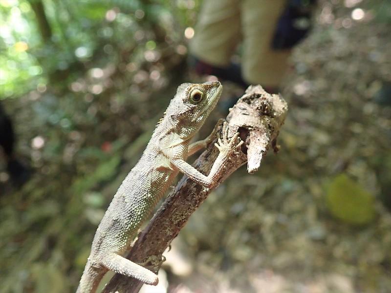 西表島のキノボリトカゲ
