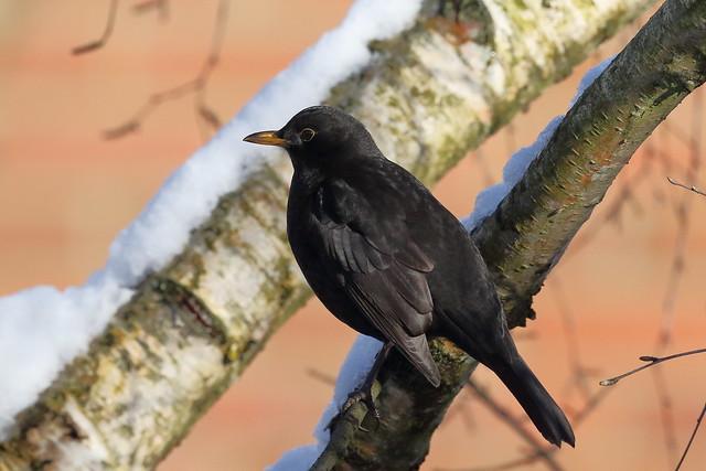 Common Blackbird (Turdus merula) ♂