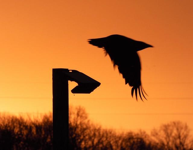 Crow Take-Off - Tyne Yard Sunrise