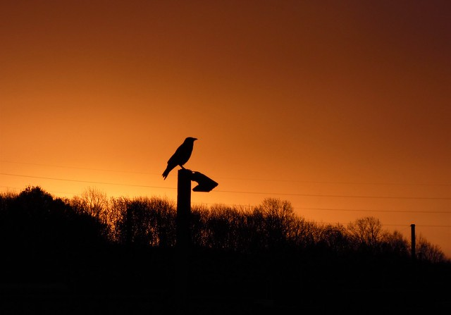 Carrion Crow Silhouette Sunrise