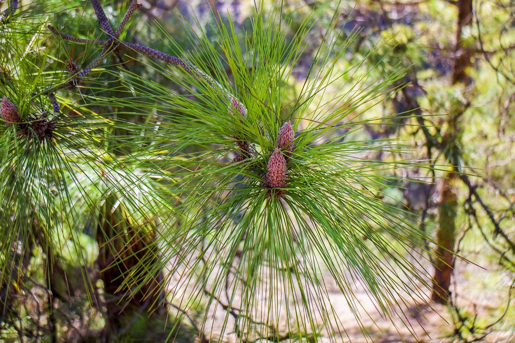 Detalle de pino canario en Tenerife