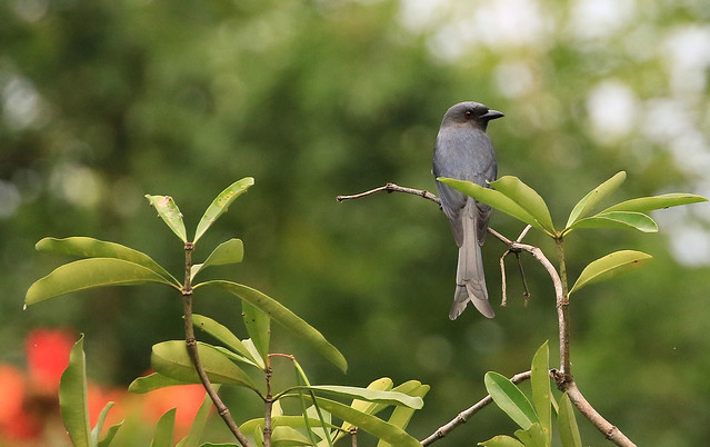 Drongo cendré - Baan Maka Nature Lodge/Phetchaburi/TH_20191128_002-1