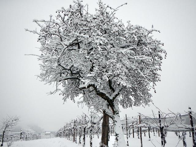 Winter snowfall (The hazel tree) - Nevicata invernale (Il nocciolo)