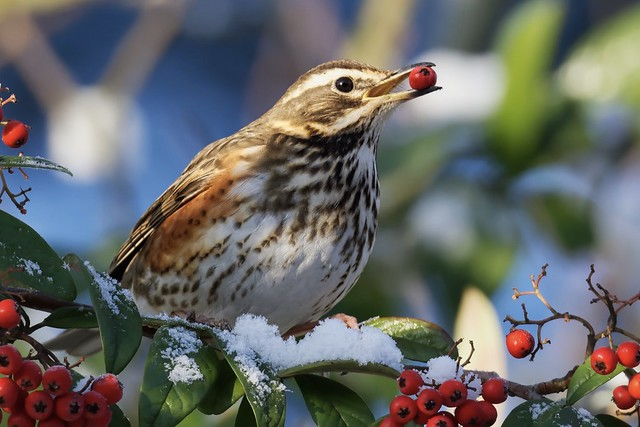 Redwing with a berry