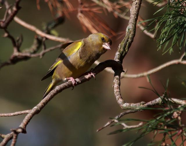 Green Finch (Male)