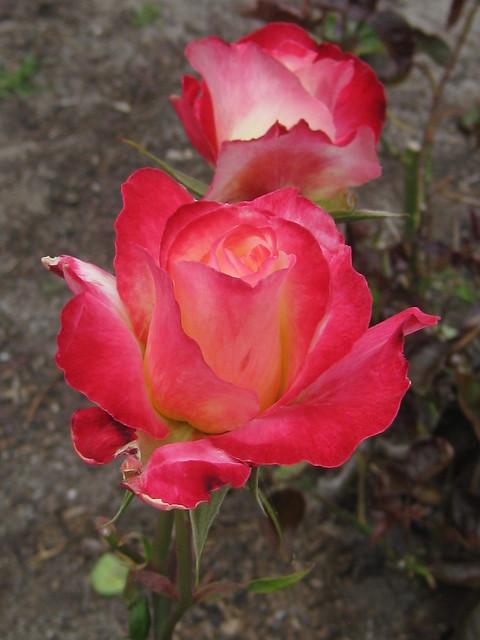 Neue Review Rose Blooms - St Kilda Botanical Gardens, St Kilda