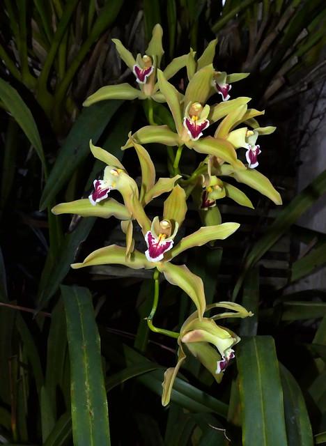 Cymbidium Lowio-mastersii primary hybrid orchid 1-21