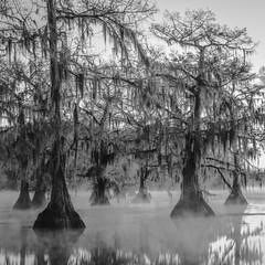 Bald Cypress In Mist No. 30