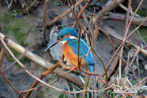 Kingfisher | by Ethan Calvert