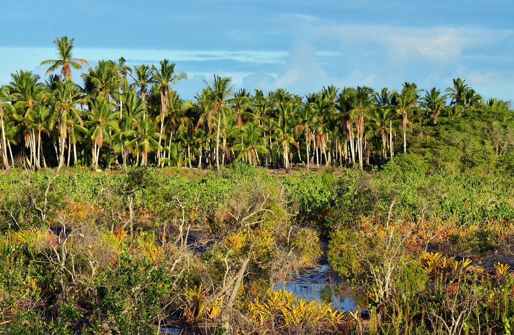 Os coqueiros e o manguezal