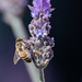 Merrillie posted a photo:Lavendar in flower attracting the bees in the garden at Gresford in the Hunter Region of NSW, Australia.