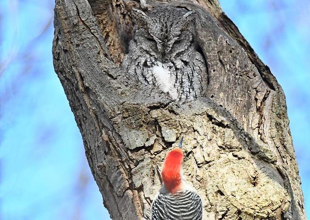 Screech Owl Watching Woodpecker