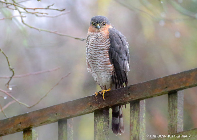 EURASIAN OR NORTHERN SPARROWHAWK ((Accipiter nisus) Male