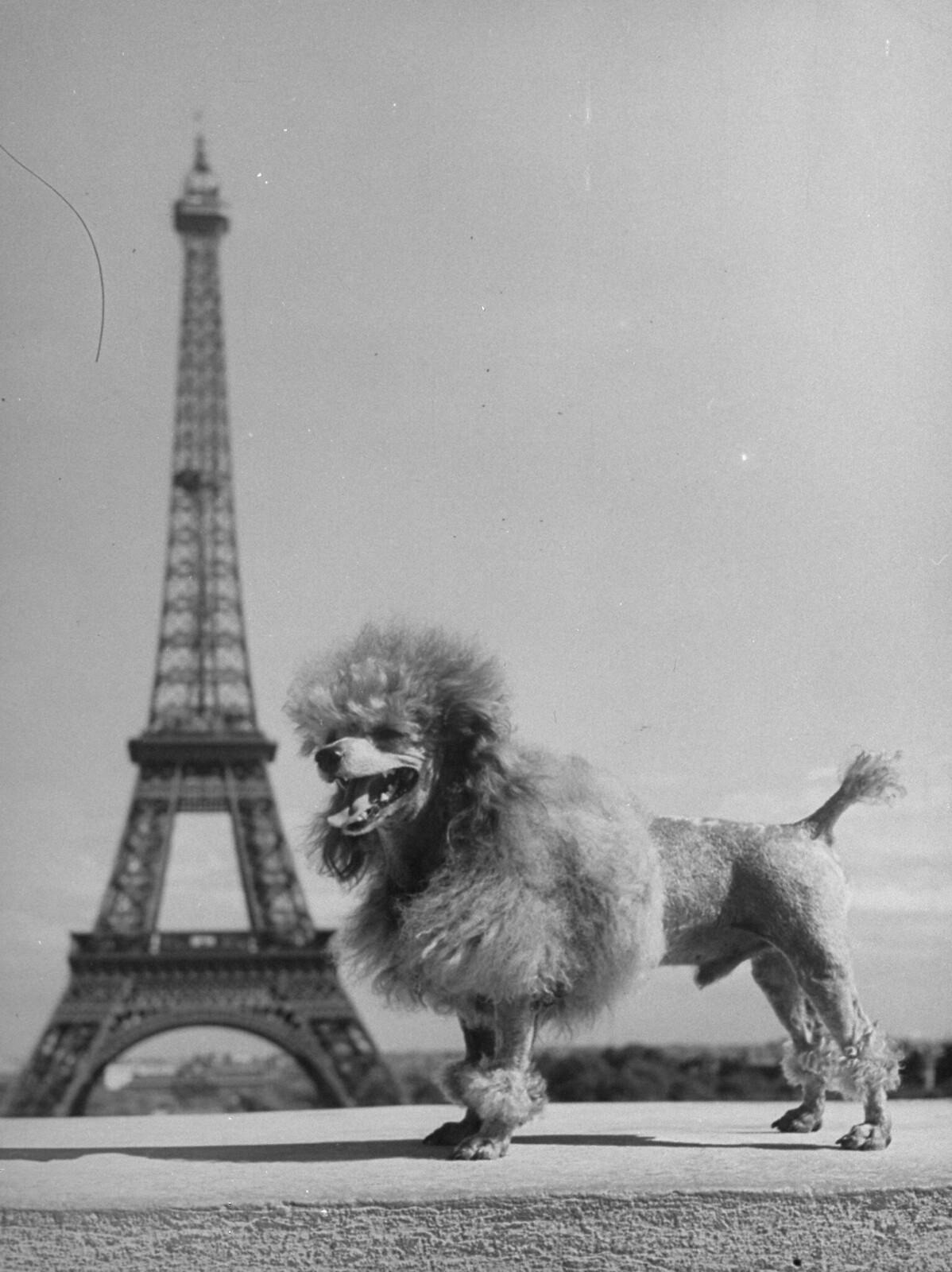 10. 1949. Той-пудель позирует перед Эйфелевой башней