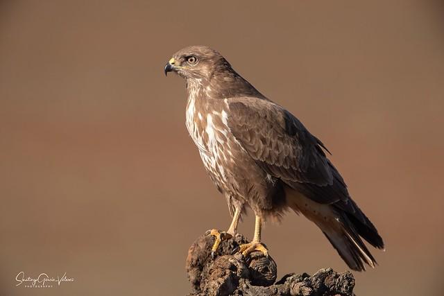 Busardo ratonero / Common buzzard (Buteo buteo)