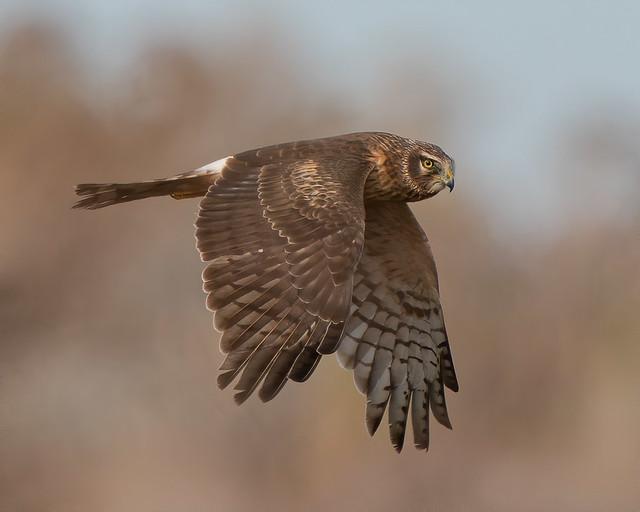 Northern Harrier Flies Across the Marsh (Explored, January 27, 2021)