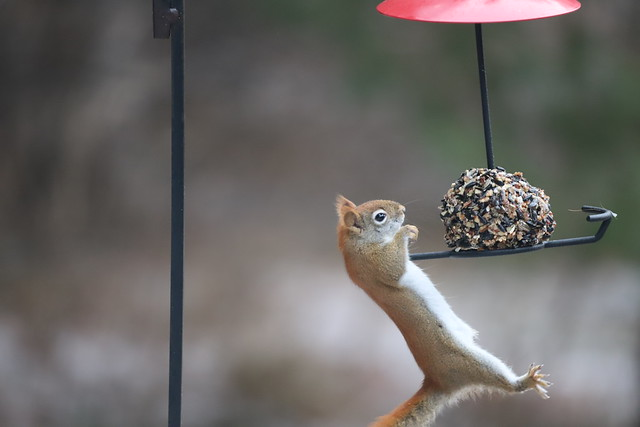 Backyard Red & Fox Squirrels (Ypsilanti, Michigan) - 25/2021 228/P365Year13 4611/P365all-time (January 25, 2021)