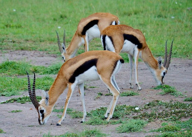 Thomson's Gazelles Grazing (Eudorcas thomsonii)