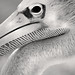B&W Pelican Close-Up 3-0 F LR 9-22-19 J101