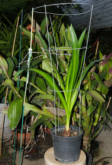 winter growing, Urginia maritima in the garden 1-21