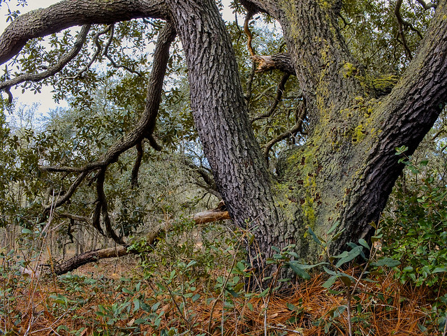 Moldy Oak tree