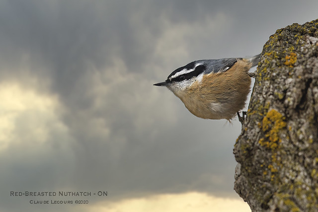 Red_Breasted_Nuthatch_WEB_2U6A8787