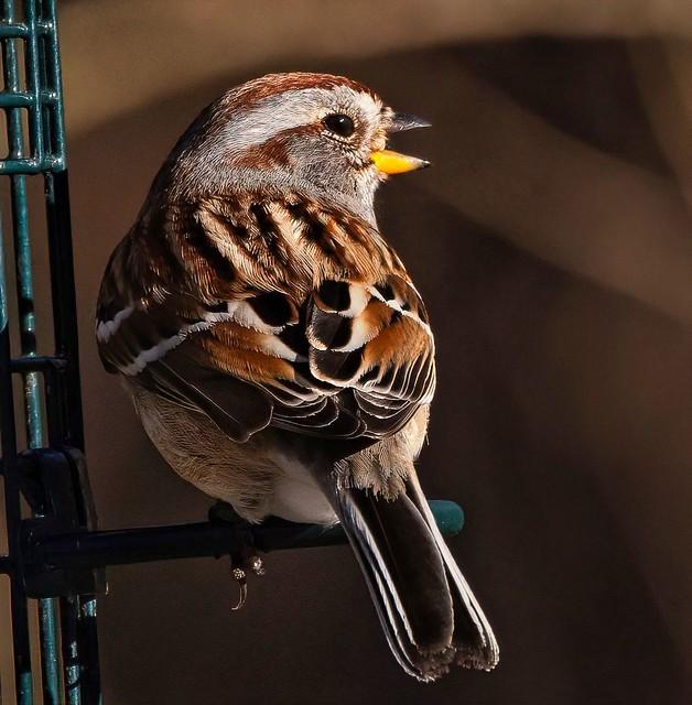 American Tree Sparrow on a Feeder Perch