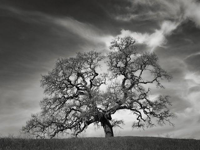 A Tree along Coyote Ridge Trail