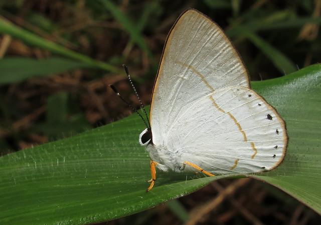 Euselasia eusepus