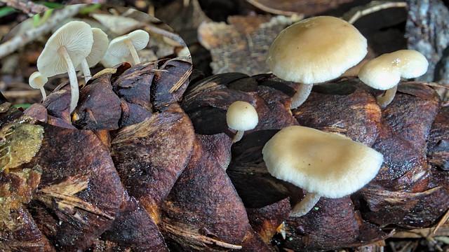 Baeospora myosura