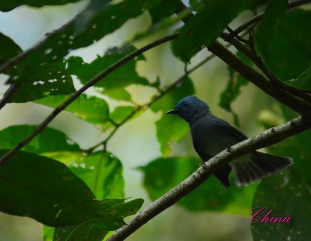 Black naped Monarch :)