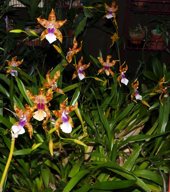 1 of 3, Miltonia clowesii 'Diego' species orchid 1-21