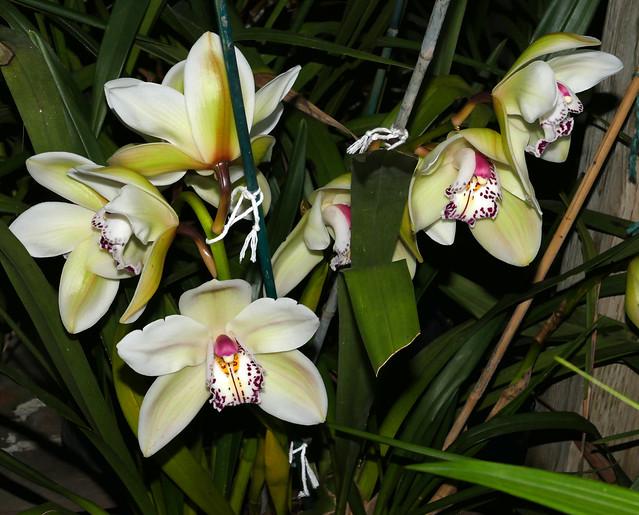 Cymbidium Peter Dawson 'Grenadier' hybrid orchid 1-21