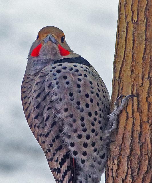 Northern Flicker (Colaptes auratus) male.  Albuquerque, New Mexico, USA.