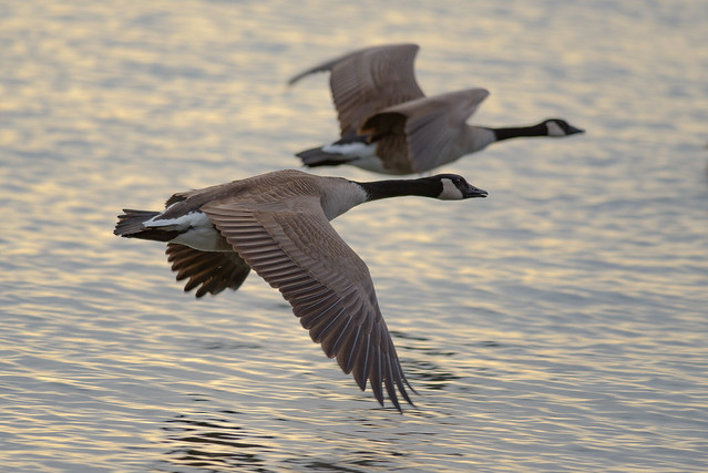 Canada Geese | Morning Light | Low Pass Flyby